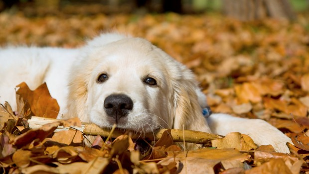 GR Golden Retriever puppy lying in Autumn Fall leaves