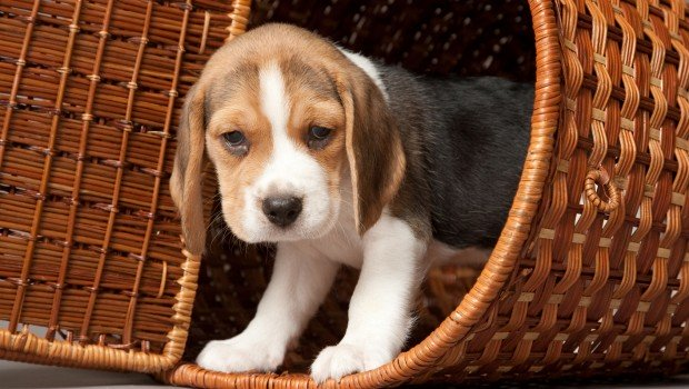 Beagle in basket