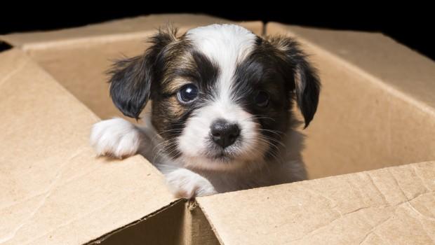 Papillon puppy in a carton box