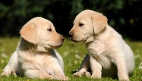 Golden Lab Puppies