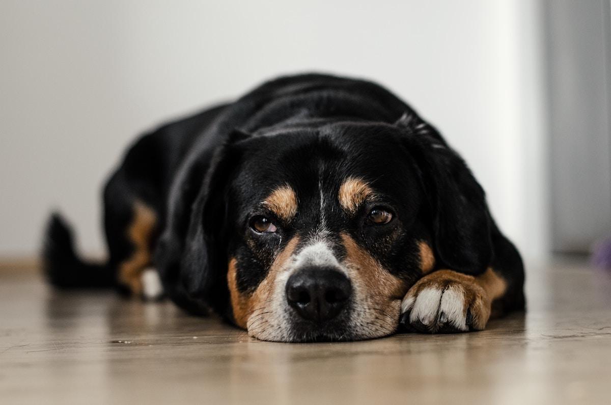 Old Hound On Floor