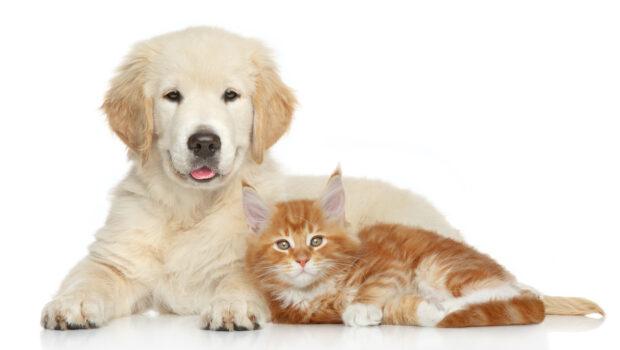 Golden retriever puppy and kitten